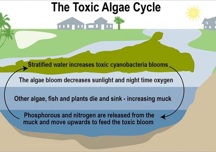 algae cycle graphic